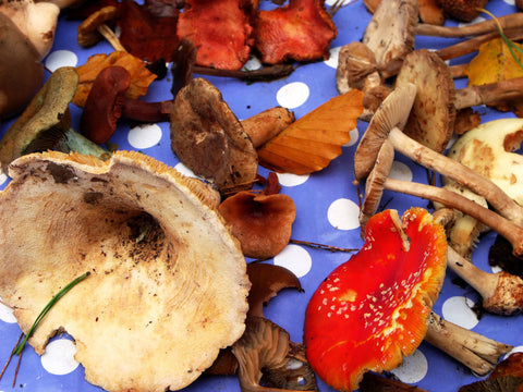 Medicinal Mushrooms for Body and Mind