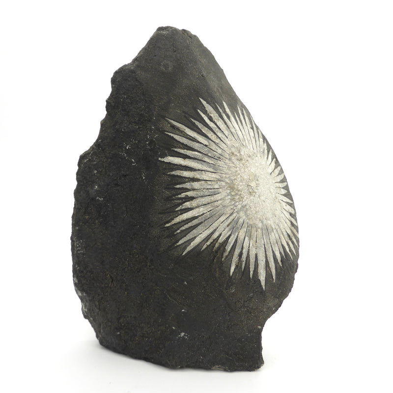 Chrysanthemum Stone Upright Ornamental Piece | Perfect White Natural Mineral Flower on Black Rock | Crystal Heart Melbourne Australia since 1986