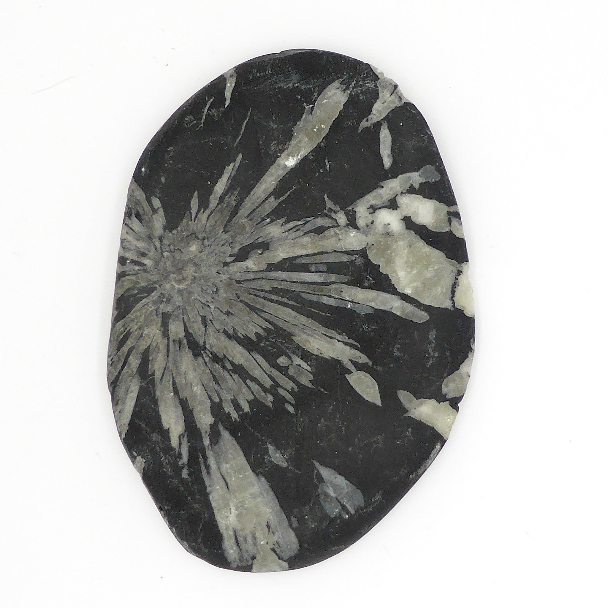 Chrysanthemum Stone is a that  Flower shape appears painted on to the black stone but is in fact completely natural crystal growth