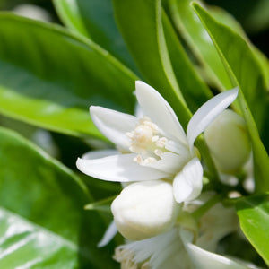 Neroli Absolute Essential Oil