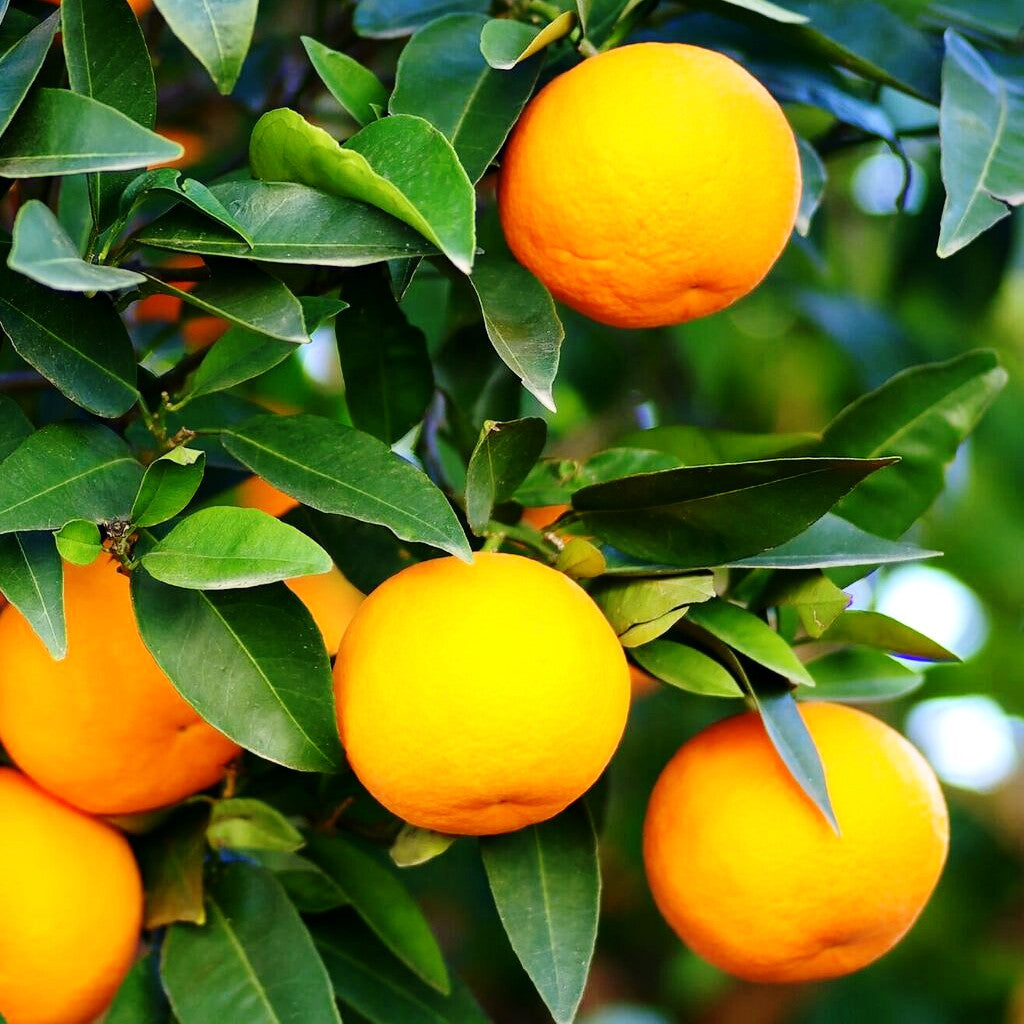 Orange Sweet Essential Oil