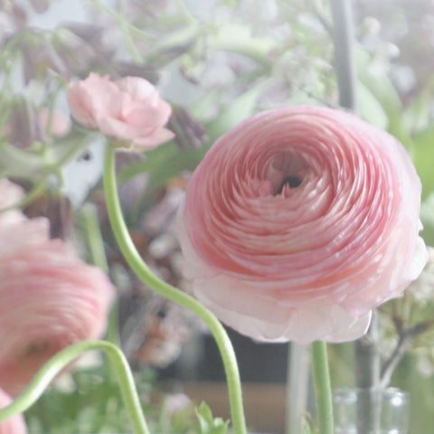 Pink Ranunculus and buds - Archival Art Print