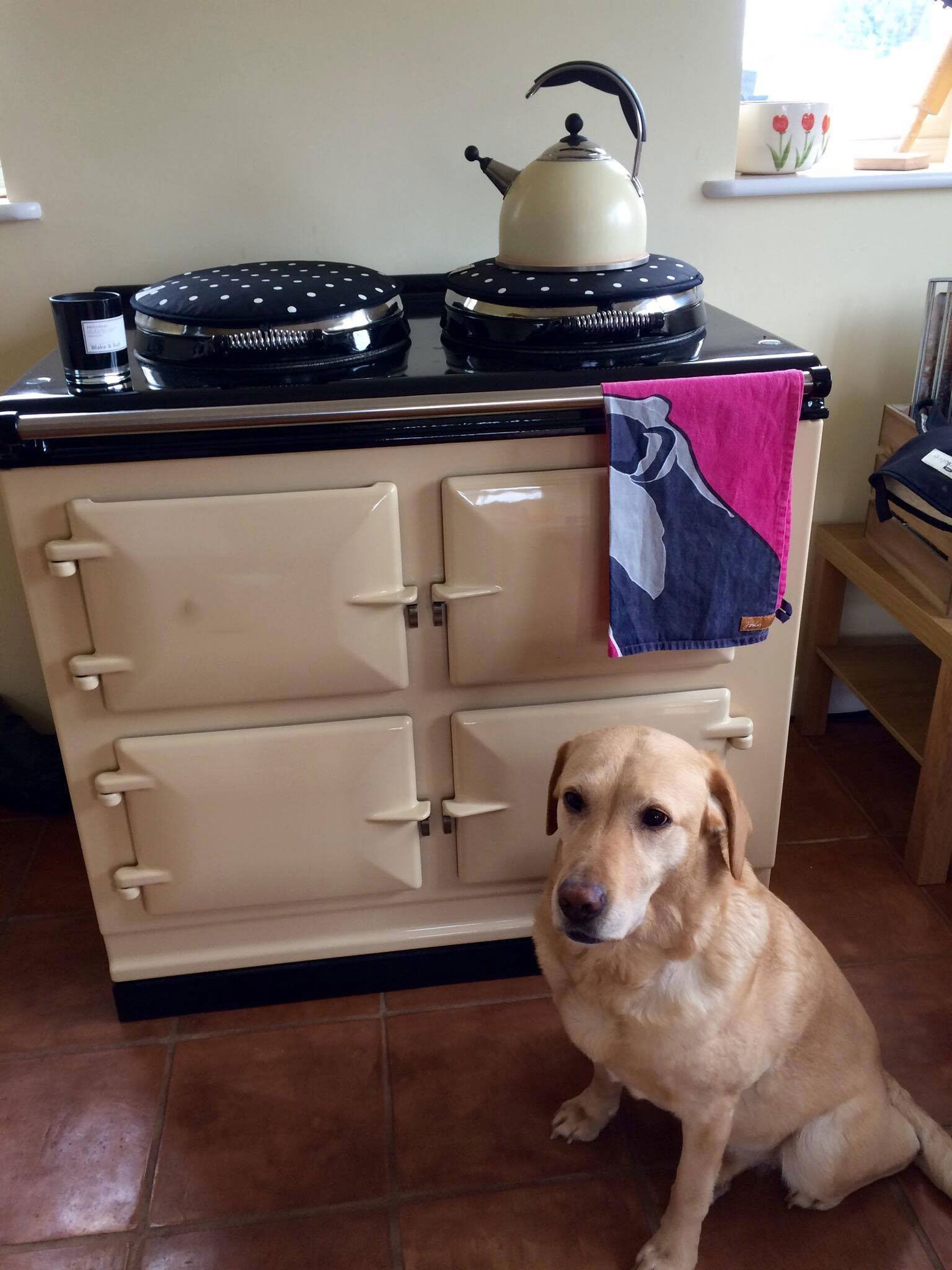 Labrador with cream cooker
