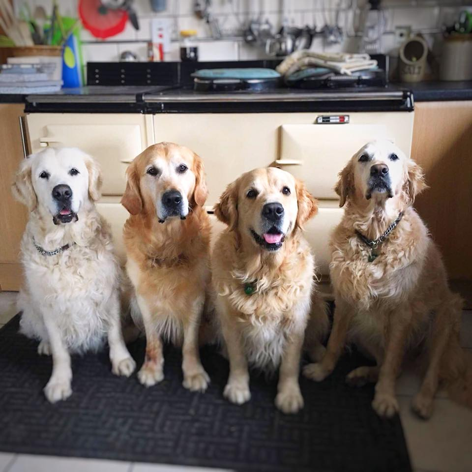 4 golden retrievers sat in front of a cream 4 oven Aga range cooker