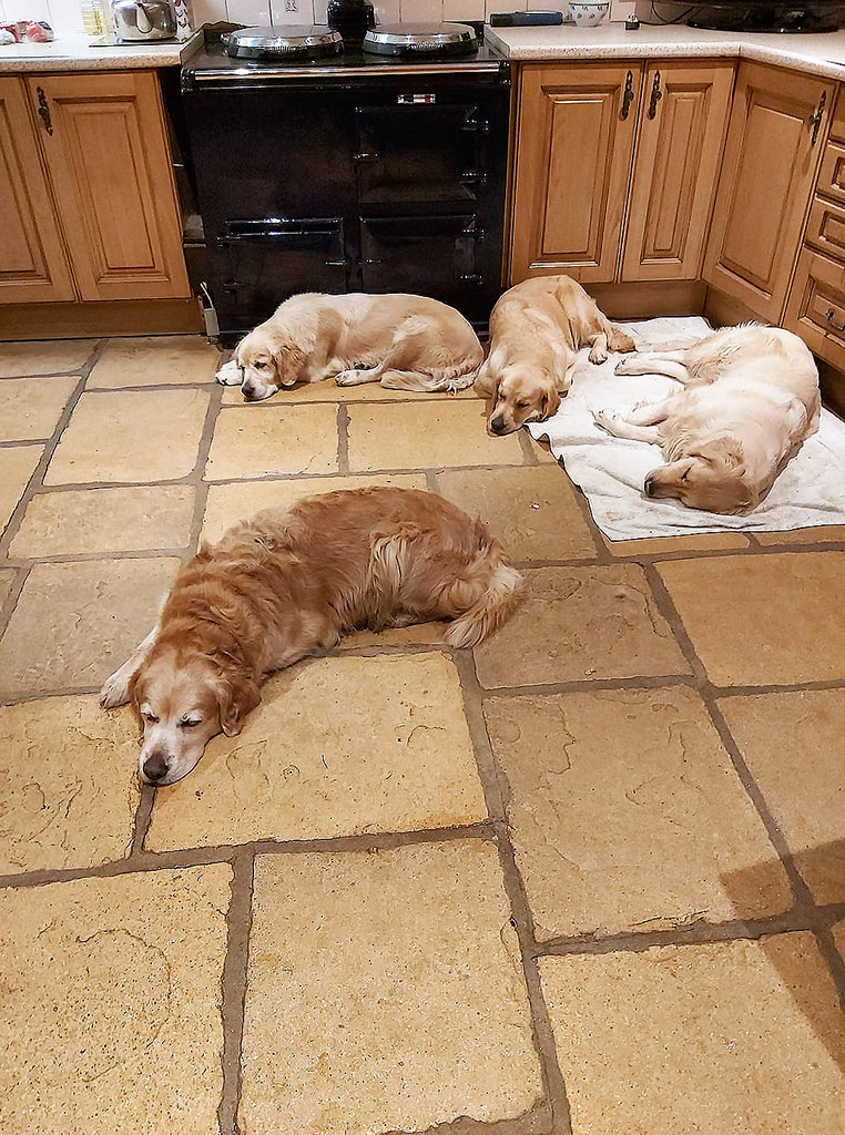 Four golden retrievers in front of an Aga range cooker