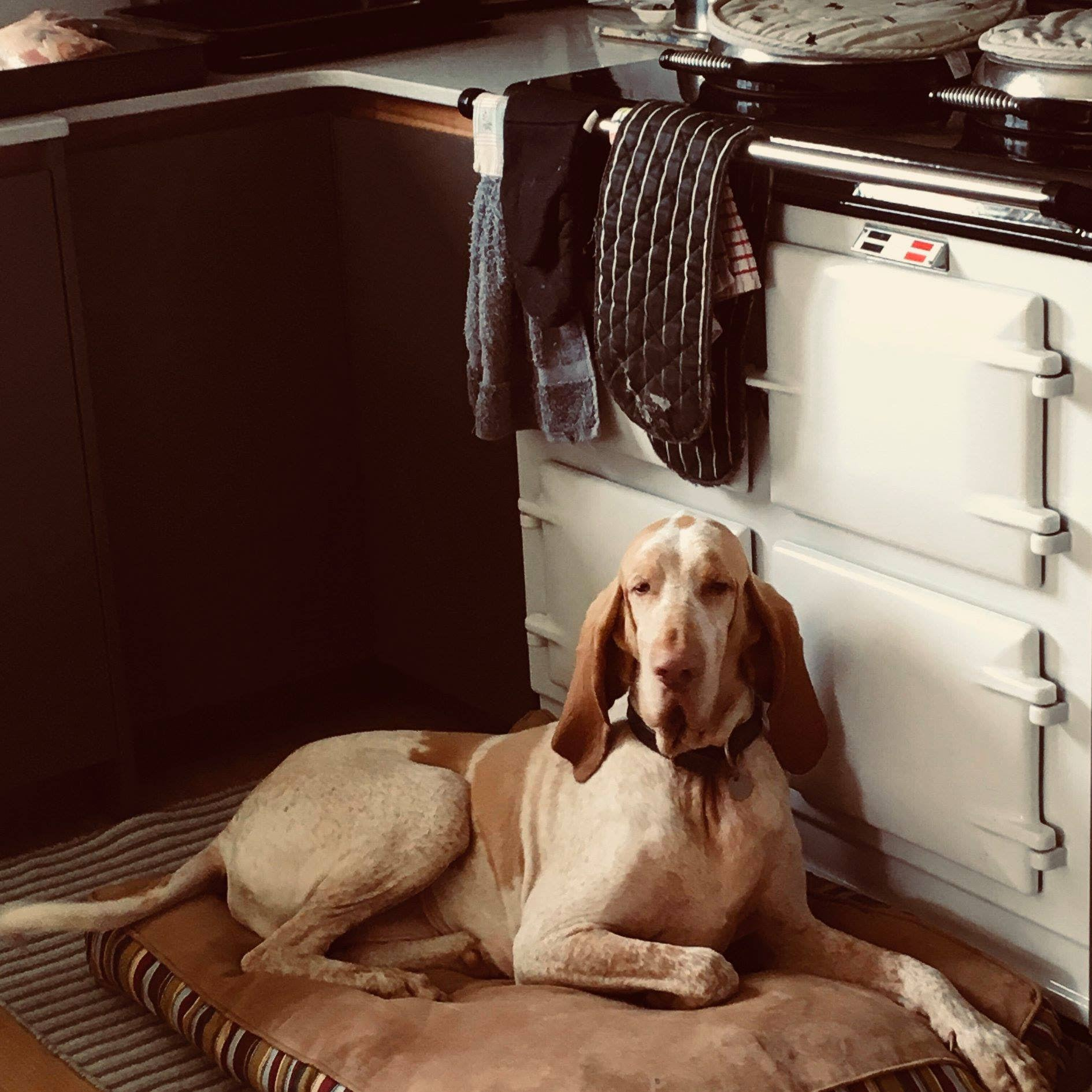 White Aga range cooker with dog sitting on rug