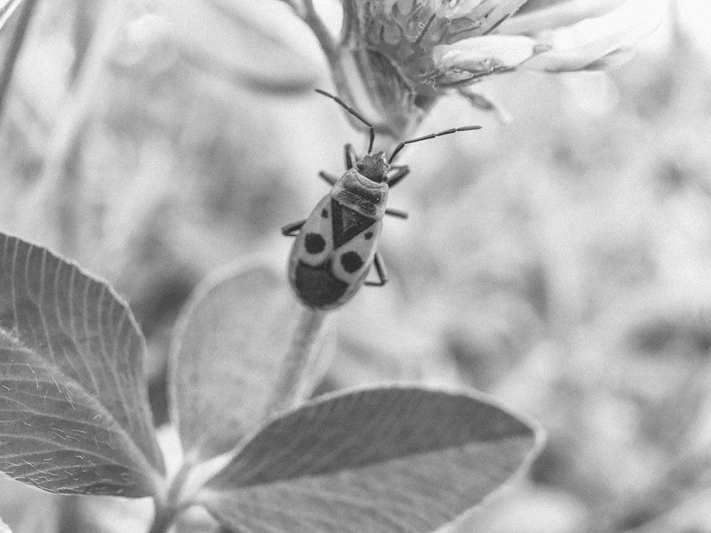 Bug Black and White- Hand luggage Only -Macro Pro