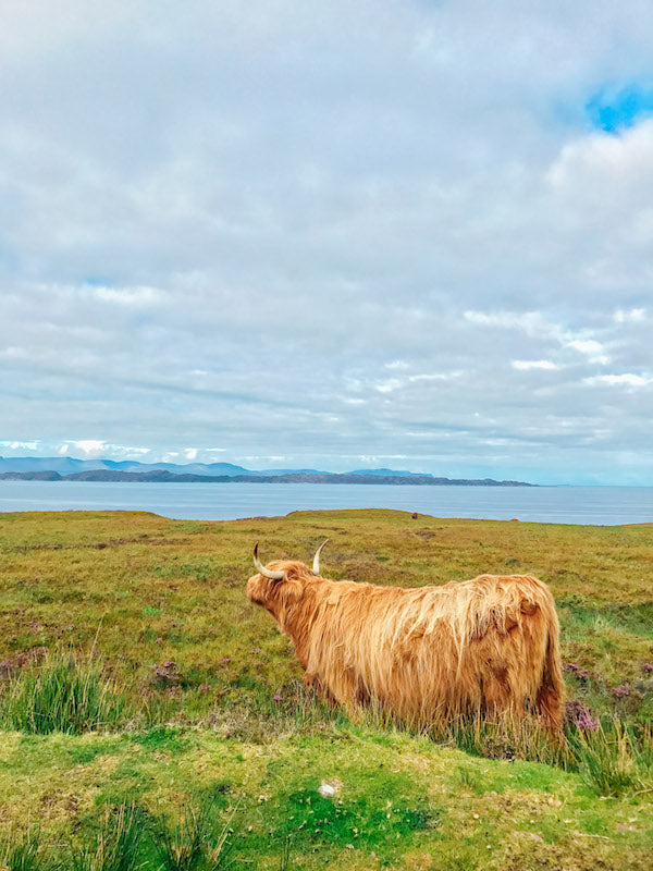 Cow Vibrant- Hand luggage Only - Wide Angle Pro