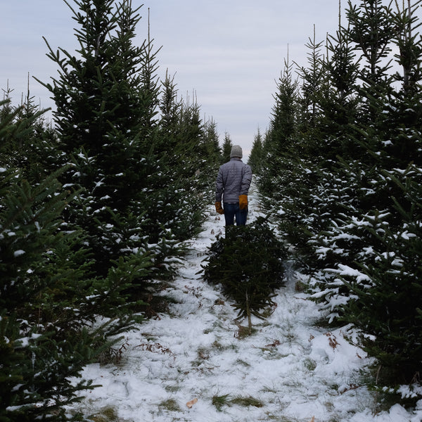 Harvest your Christmas Tree this Year