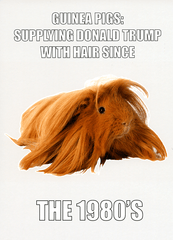 Funny Cards - Guinea Pigs - Supplying Donald Trump's Hair