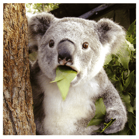 Funny Cards - Surprised Koala