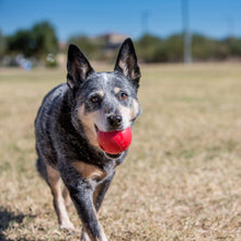 Load image into Gallery viewer, Dog playing with KONG ball in the Park va0