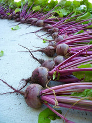 Fresh harvest chioggia beetroot