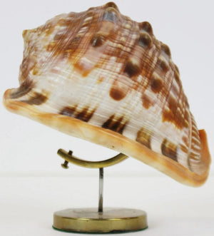 Seashell on a Brass Stand