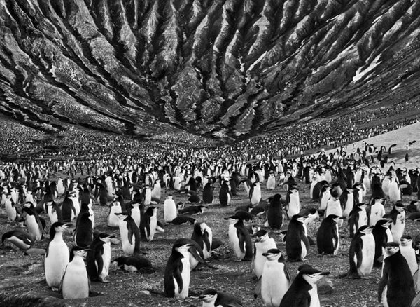 Left and right: Stunning photographs depicting the march of the penguins, photographed by Sebastião Salgado.
