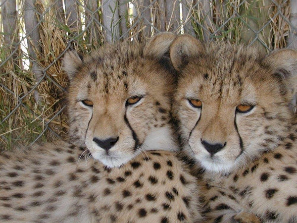 Left and right: The stunning cheetahs that are looked after by the inspiring Cheetah Outreach charity. Photos courtesy of Cheetah Outreach.