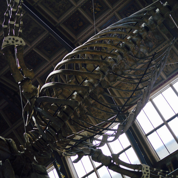 Left and right: Museum guests can walk under the huge skeleton and admire the largest creature ever to have lived.
