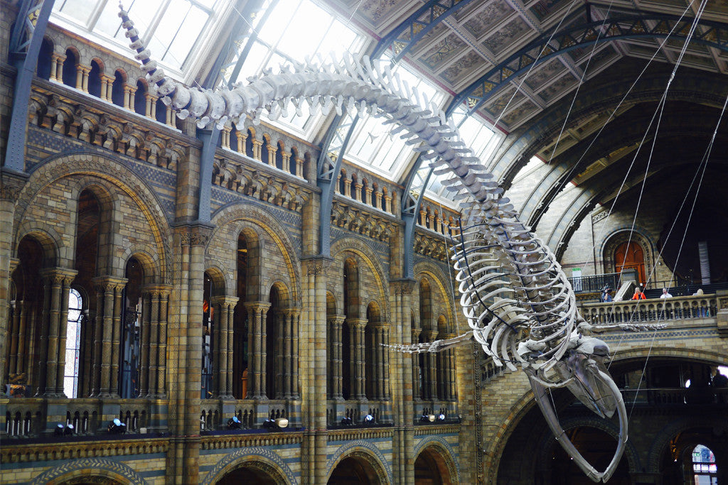 The new whale installation consists of 221 bones, and spans the entire length of Hintze Hall.