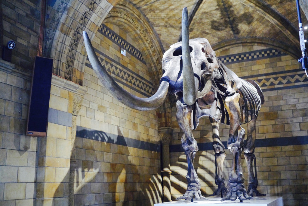 The mastodon is a distant relative of the mammoth and went extinct around 13,000 years ago due to climate change, habitat loss and human hunting.