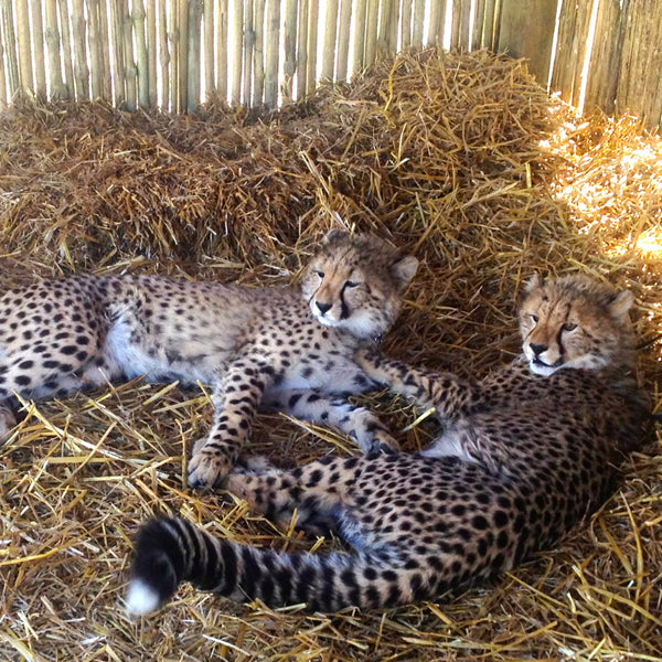 Left and right: Cheetahs that Emma visited on her African Safari in 2013.