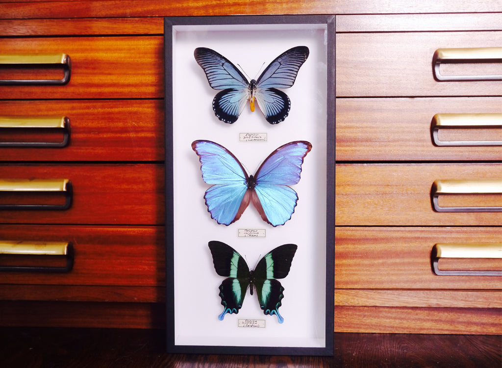 The three beautiful butterflies from Deyrolle that we took back to the EJS studio.