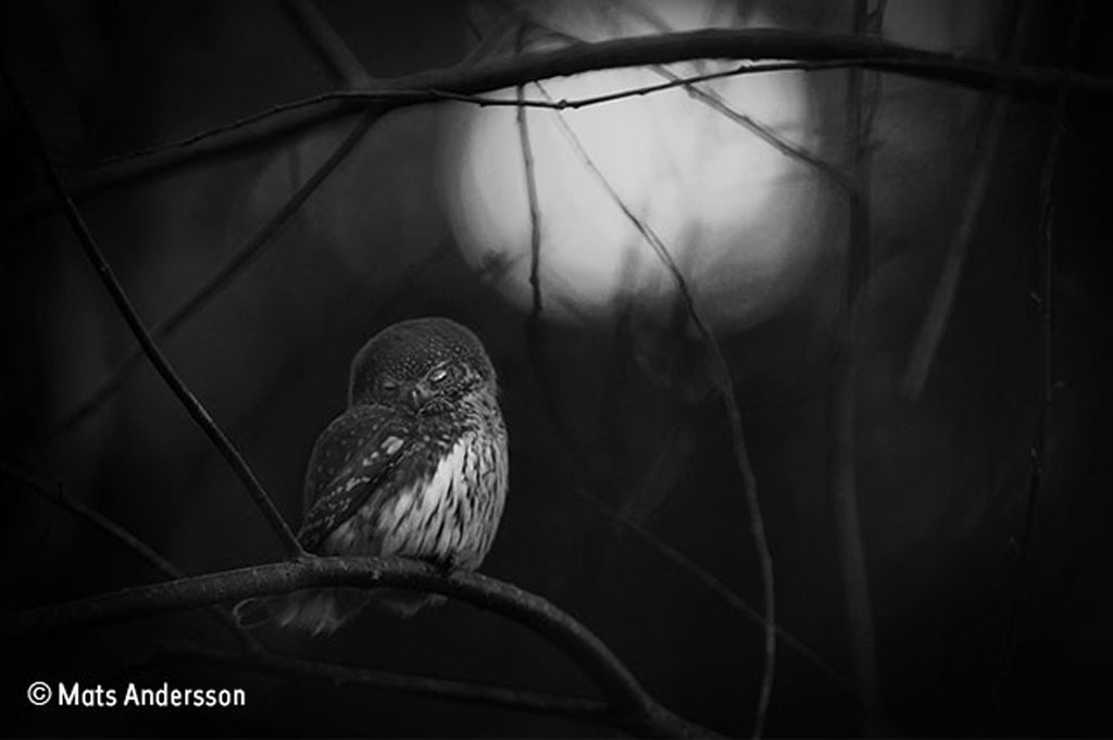 "Mats Andersson ""Requiem for an owl"" / Wildlife Photographer of the Year"