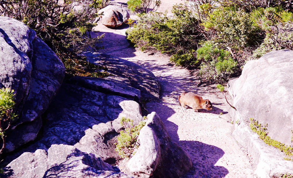 A dassie or rock hyrax on top of Table Mountain