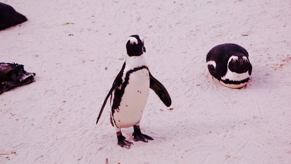 Left: a penguin making its way to the sea. Right: before developing their distinctive markings, the chicks are grey and fluffy