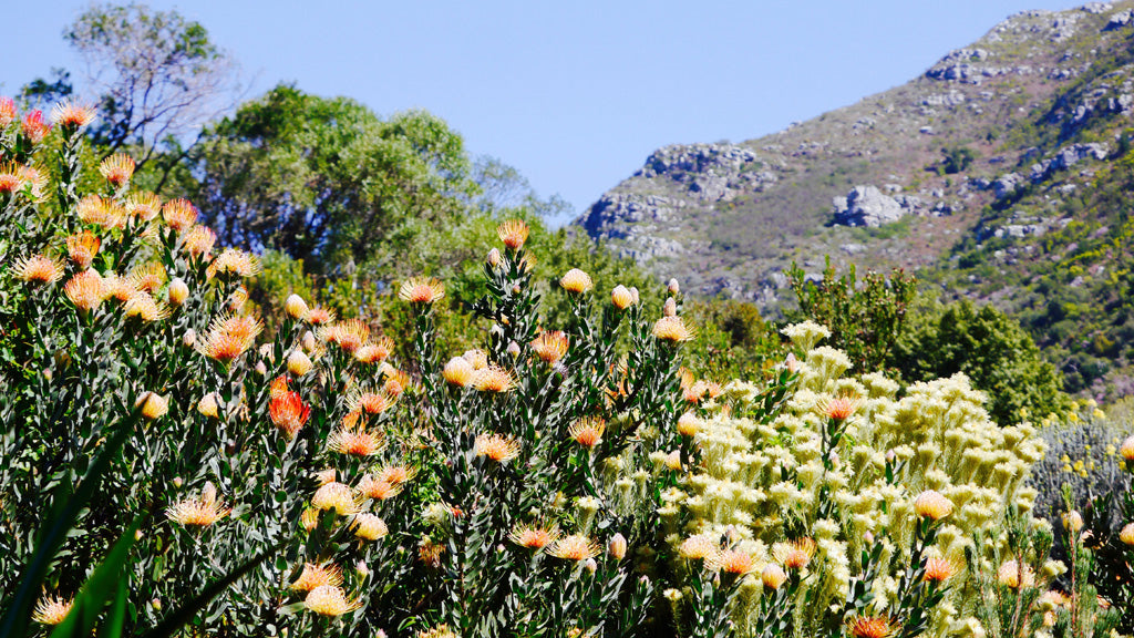 Colours of Kirstenbosch; set against Table Mountain