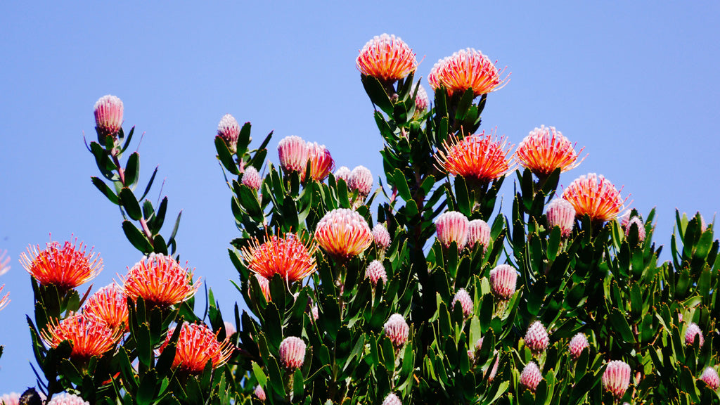 There are many different varieties of protea in the gardens