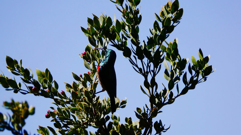 A sunbird perched for long enough for me to capture its majestic teal and red plumage
