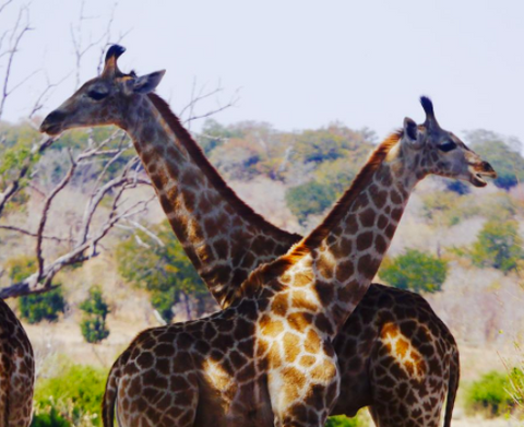 Beautiful wild giraffes that Emma spotted on a recent Safari trip to South Africa.