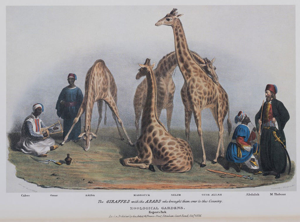 The giraffes in the Zoological Gardens, Regents Park - Lithograph by George Scharf, published 1836, private collection