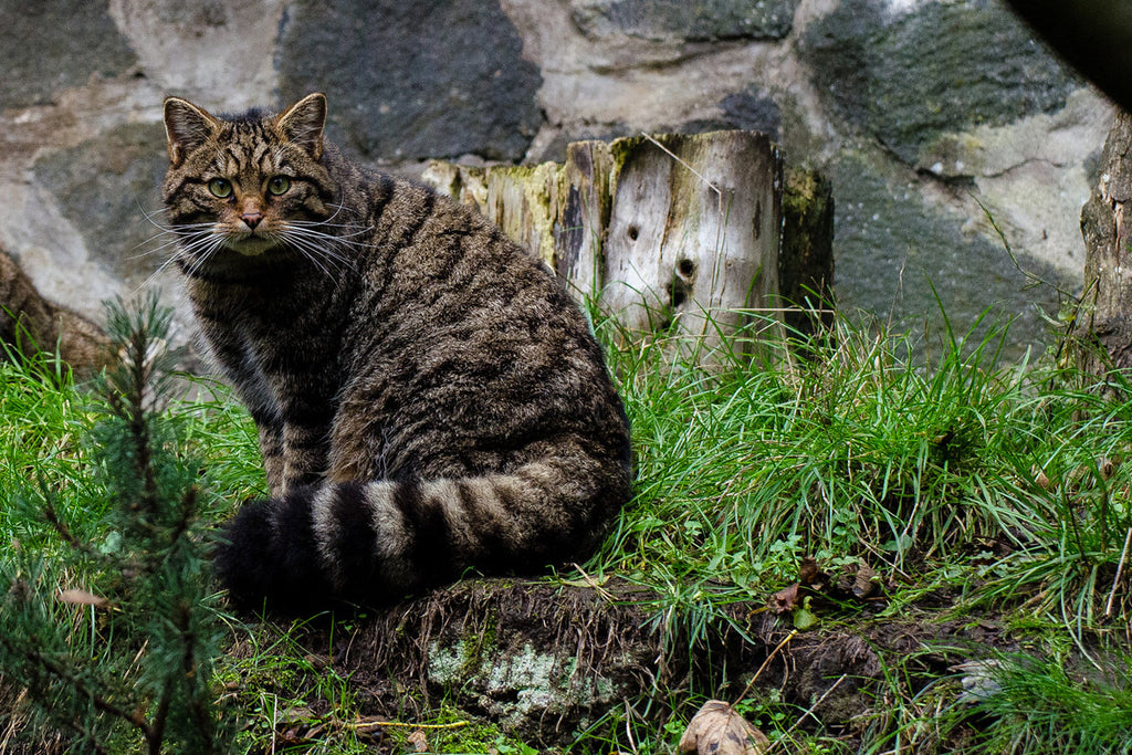 Image of the rare Scottish Wildcats taken from The Tigers of Scotland Documentary