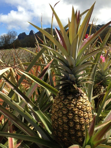 Pineapple in the fields of Hole in the Mountain Farm
