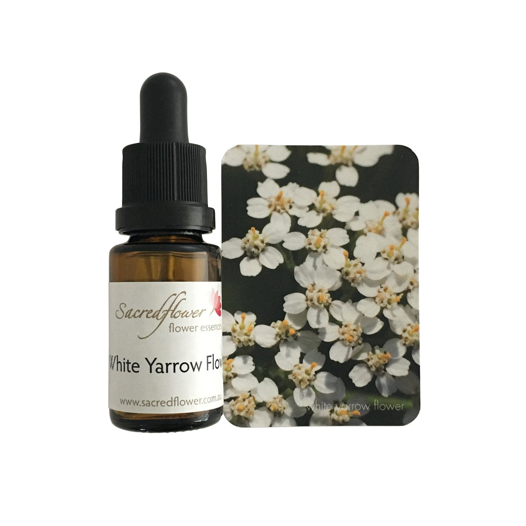 Australian flower essences. white yarrow flower essence remedy. sacred flower essences