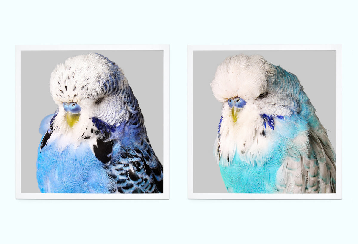 Blue Budgies Art Print Set