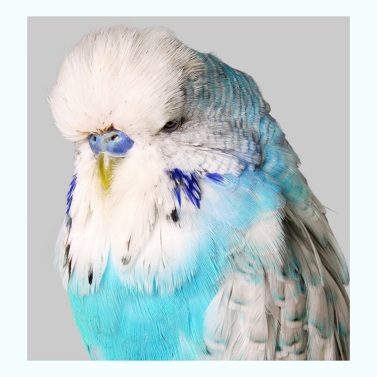 Budgie White & Blue Art Print