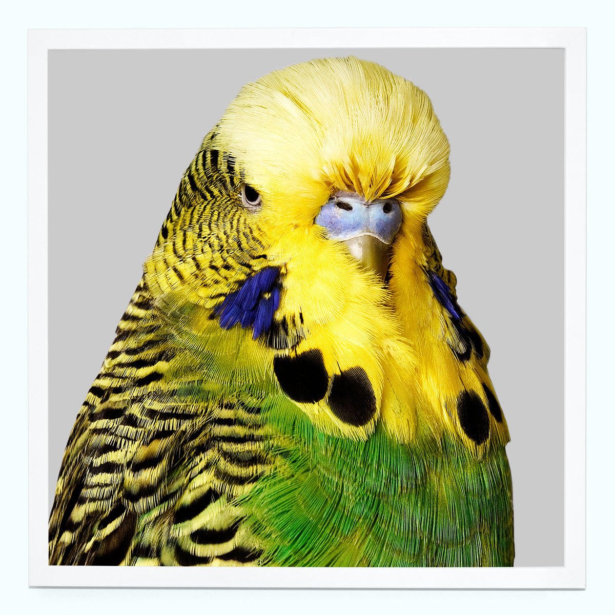 Budgie Yellow & Green Art Print