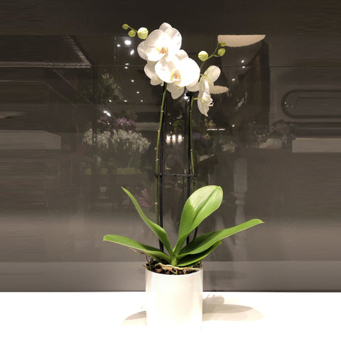Phalaenopsis Orchid in 2 Stems