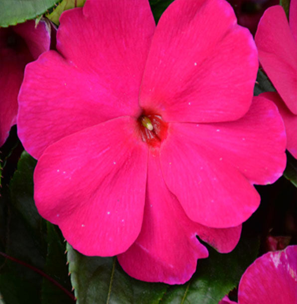 "New Guinea Impatiens 11"" Basket"