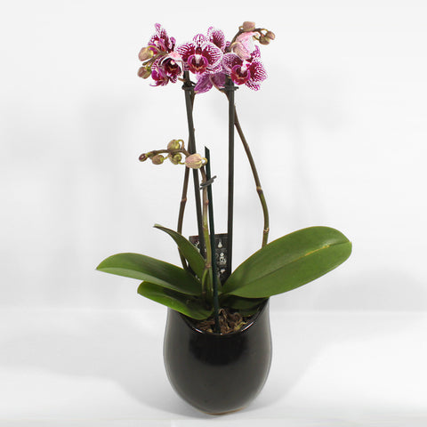 Table Top Phalaenopsis Orchid