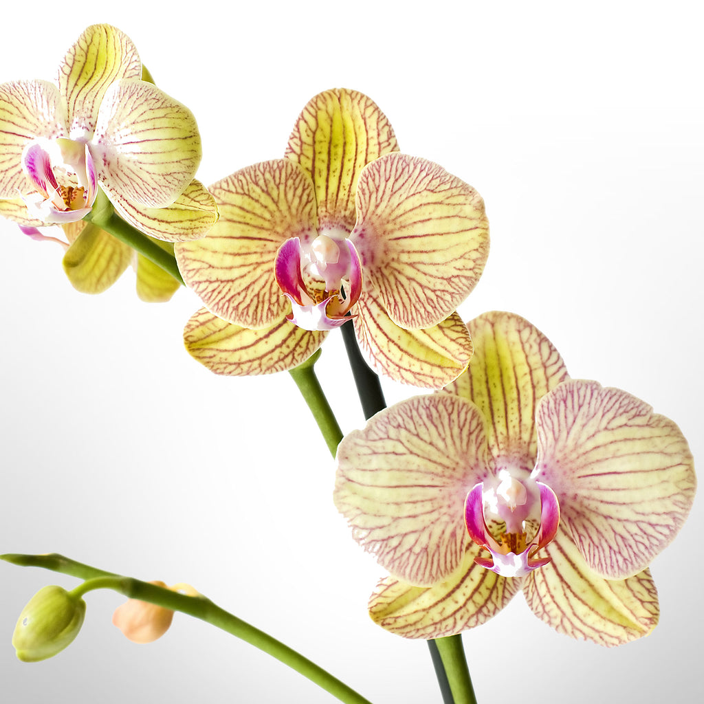 Phalaenopsis Orchid in 1 Stem