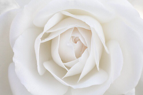 White rose photography tumblr pinterest