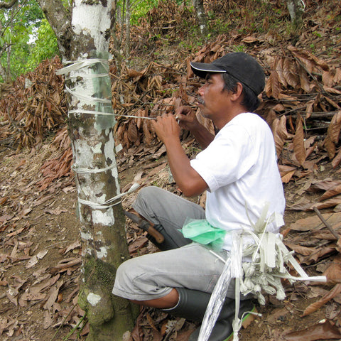 Cocoa Tree Rehabilitation