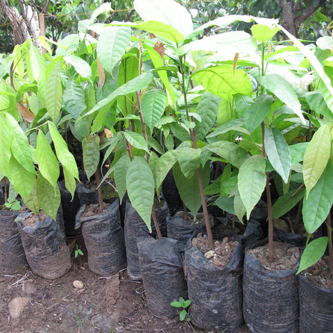 Re-plant Cocoa Trees (2nd Year Program)