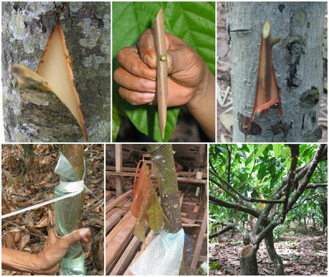 Cocoa Tree Rehabilitation Pack