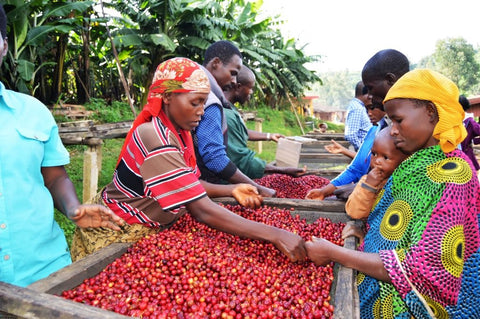 Burundi Medium-Ground or Whole Bean