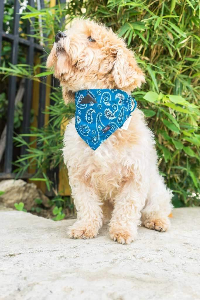 Dharf Dog Bandana and Collar in Blue Paisley