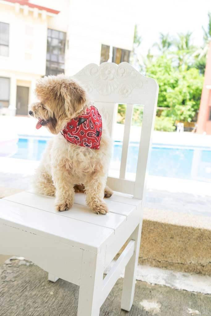 a poodle mix is wearing a red paisley bandana while sitting by the pool